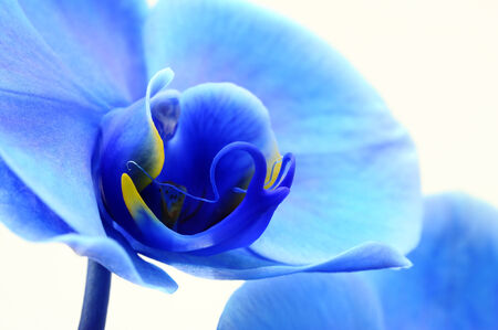 Macro of Blue flower orchid on white background photo