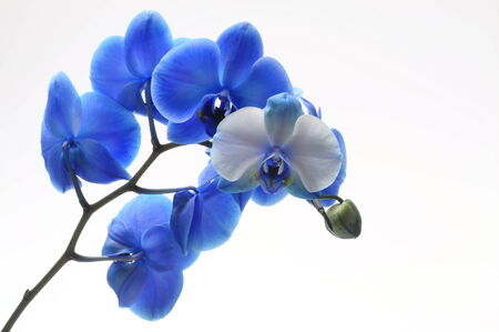 blue orchid: Blue flower orchid on light background