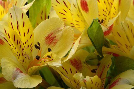 alstroemeria: Close up of Yellow Alstroemeria flower golden lilies