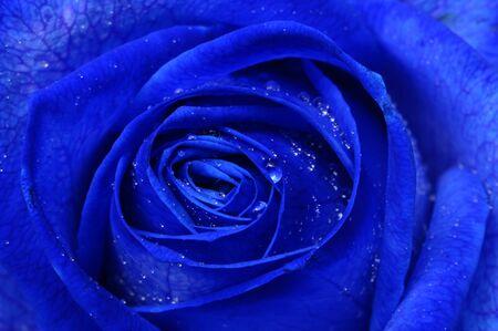 blue rose: Details and Close up of Blue rose petals