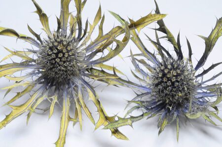 prickly flowers: Close up of blue prickly thistles flowers Stock Photo