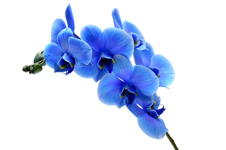 Blue flower orchid isolated by clipping path on white background Stock Photo