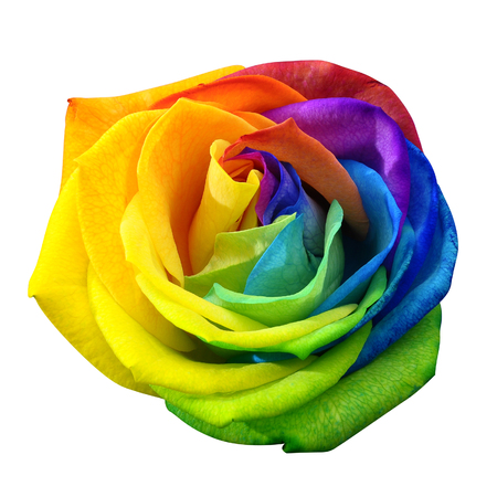 Close-up van gelukkige roos: regenboog bloem met gekleurde blaadjes geïsoleerd door het knippen van weg op een witte achtergrond Stockfoto