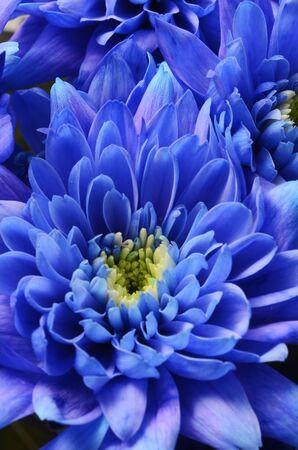 blue flowers: Macro of Blue aster flower petals Stock Photo