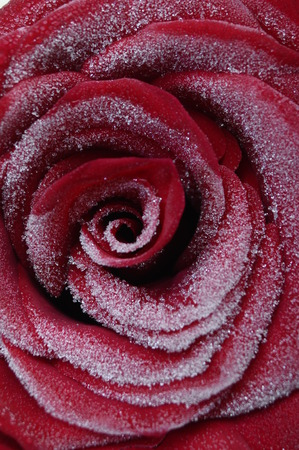 the frozen water: Macro of red rose heart and petals with frozen water