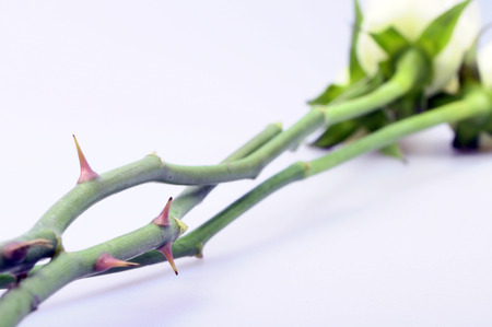 love hurts: Close up of Thorns of a white rose with focus on thorn on light background
