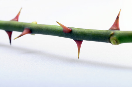 love hurts: Close up of Thorns of a red rose with focus on thorn on light background