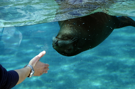 artic: Sea lion swimming in an aquarium and mans hand calling the animal Stock Photo