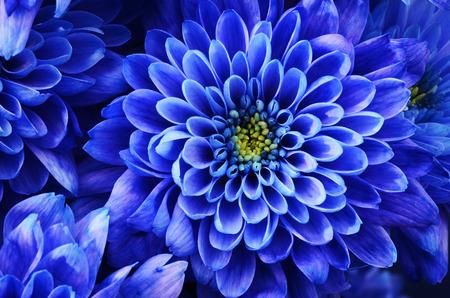 corazones azules: Cierre de la flor azul: Aster con pétalos azules y corazón amarillo para el fondo o la textura