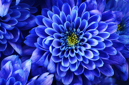 Close up of blue flower : aster with blue petals and yellow heart for background or texture Standard-Bild