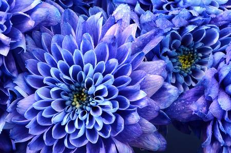 red roses: Cierre de la flor azul: Aster con pétalos azules y corazón amarillo para el fondo o la textura