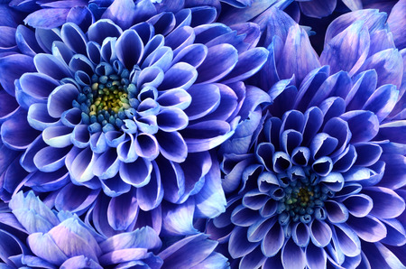 yellow heart: Close up of blue flower : aster with blue petals and yellow heart for background or texture Stock Photo
