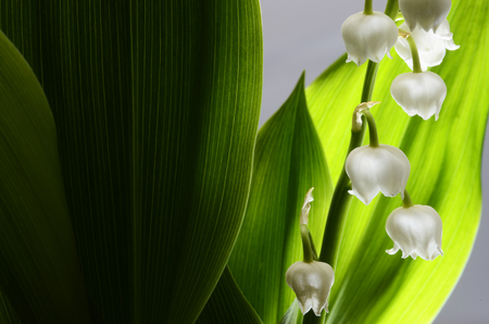 lily flowers: Close up of Lily of valley flower and green leaves Stock Photo