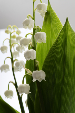 muguet: Close up of Lily of valley flower on white background