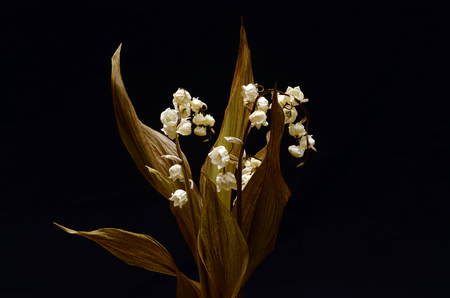 muguet: Close up of Dry and old lily of valley flower