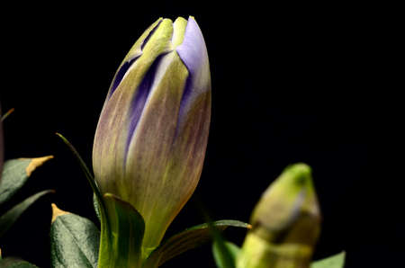 gentian flower: Blue gentian flower and black background :Gentianaceae hyacintho Stock Photo