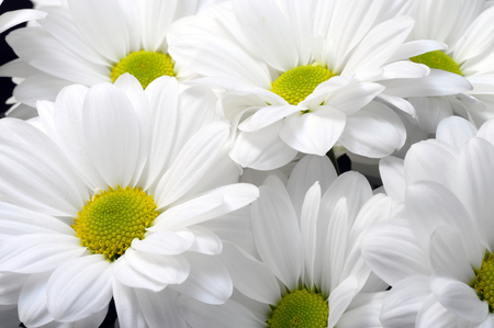 yellow heart: Cloqe up of white daisy flower with yellow heart
