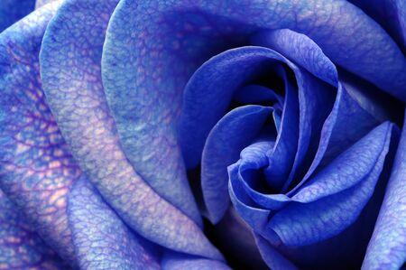 blue rose: Close up of blue rose petals Stock Photo