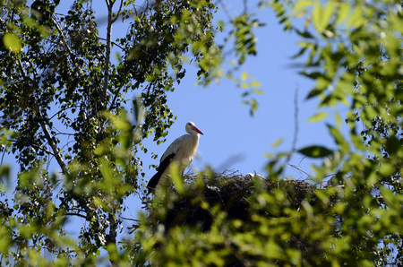 Black and white Storks in their nest on a tree