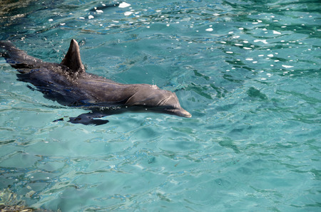 bottlenose: Close up of dolphins swimming in Dolphins in Caribbean Sea water
