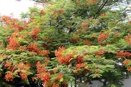 Fleur rouge de poinciana royal ou un arbre flamboyant en pleine floraison à Curaçao