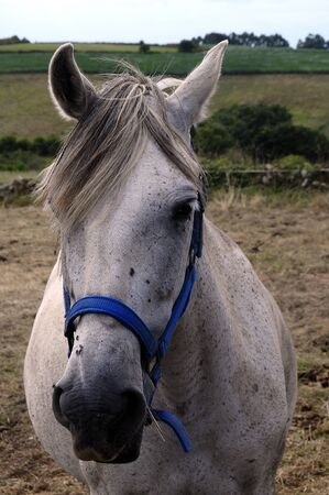 halter: Close Portrait of white horse in Spain and blue halter Stock Photo