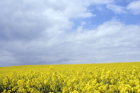 colza: Yellow flowers of colza field at spring, in Ssavoy, france