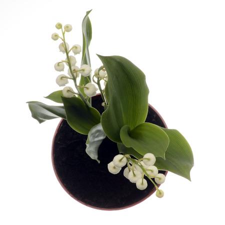 Close up de Lily de la fleur de la vallée sur fond blanc