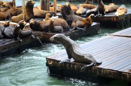 Sea lion in san francisco pier, California, USA