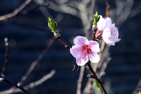 Pink flower of peach tree in spring on blur background