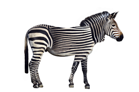 Original Zebra, with horizontal stripes, isolated on white background