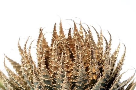 Christmas background : gold cactus flower Stock Photo