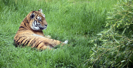 Royal tiger or bengal tiger lying on green grass 스톡 콘텐츠