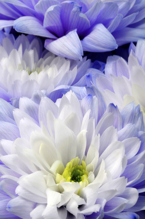 Close up of white and blue flower aster details for background