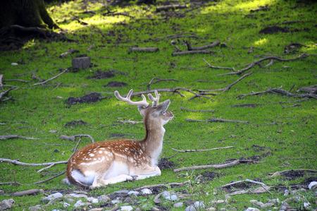Fallow deer lying in green grass, Savoy, France