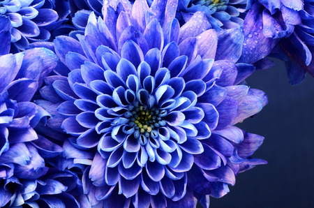 Close up of blue flower : aster with blue petals and yellow heart for background or texture Stock Photo