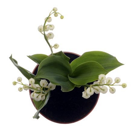 Close up of Lily of valley flower on white background