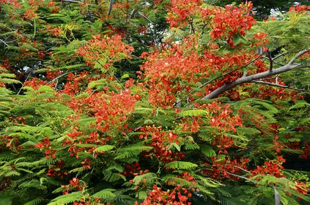Fleur rouge de poinciana royal ou arbre flamboyant en pleine floraison à Curaçao