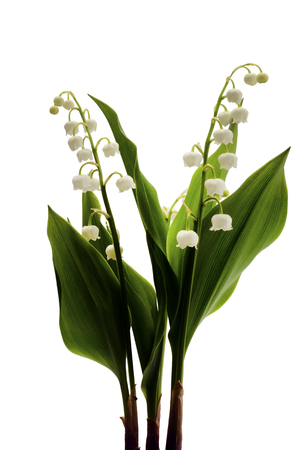 Lily of valley flower on white background Foto de archivo