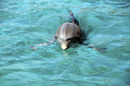 Close up of dolphins swimming in Caribbean Sea water