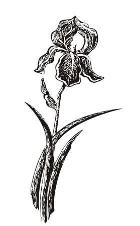 Iris Sketch Illustration