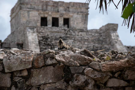 Iguana sits on a stone wall and relaxes under the Mexican sun, in the background you can see an ancient maya ruin (popular travel destination, maybe after the Corona crisis) - Tulum, Mexico Stock Photo