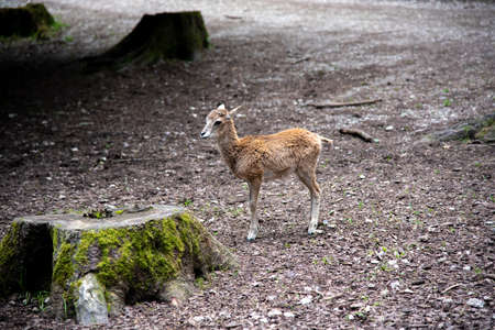 A young brown goat standing in the forest (high resolution image) Banco de Imagens