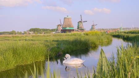Netherlands rural lanscape with prowd beautiful swan in the river by Dutch windmills at famous tourist site Zaanse Schans village in Holland at sunset. Beauty in nature,handheld shot.