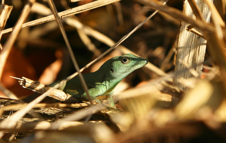 lizard in field: A closeup disparo de un lagarto verde esconderse en la vegetación alguna.  Foto de archivo