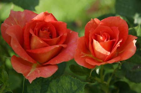 Two orange roses with the background of a green spring. photo