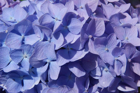 Macro photo of hydrangeas. The color shades of purple and blue flowers. Bloom in spring. Flower colour can change from blues purples through to pinks, depending on the ph of your soil. Excellent cut flower. Stock Photo