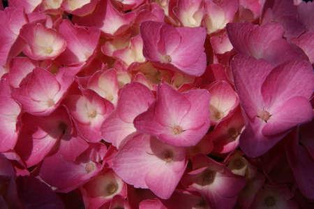 Macro fotografia di ortensie. Le sfumature di colore dei fiori viola e blu. Fioriscono in primavera. Colore del fiore può cambiare da /purples blues attraverso a rosa, a seconda del ph del vostro terreno. Eccellente fiore reciso. Archivio Fotografico - 7562505