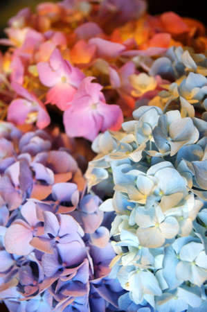 hydrangea macrophylla: Macro photo of hydrangeas. The color shades of purple and blue flowers. Bloom in spring. Flower colour can change from blues purples through to pinks, depending on the ph of your soil. Excellent cut flower. Stock Photo