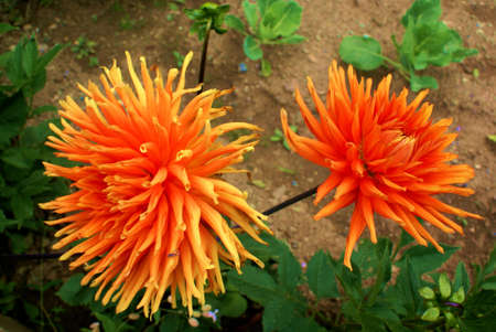 Dahlia is a genus of bushy, summer- and autumn-flowering, tuberous perennials that are originally from Mexico, where they are the national flower. Stock Photo - 7562498
